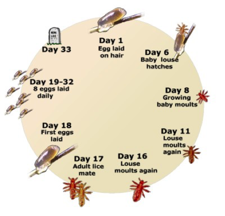 Headlice Lifecycle